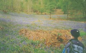 Photo of Riccal Dale bluebells from the Exploring Lake Pickering book
