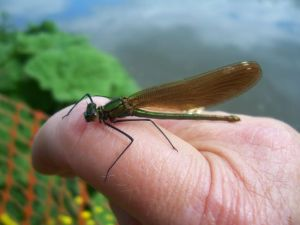 Damsel fly on my hand